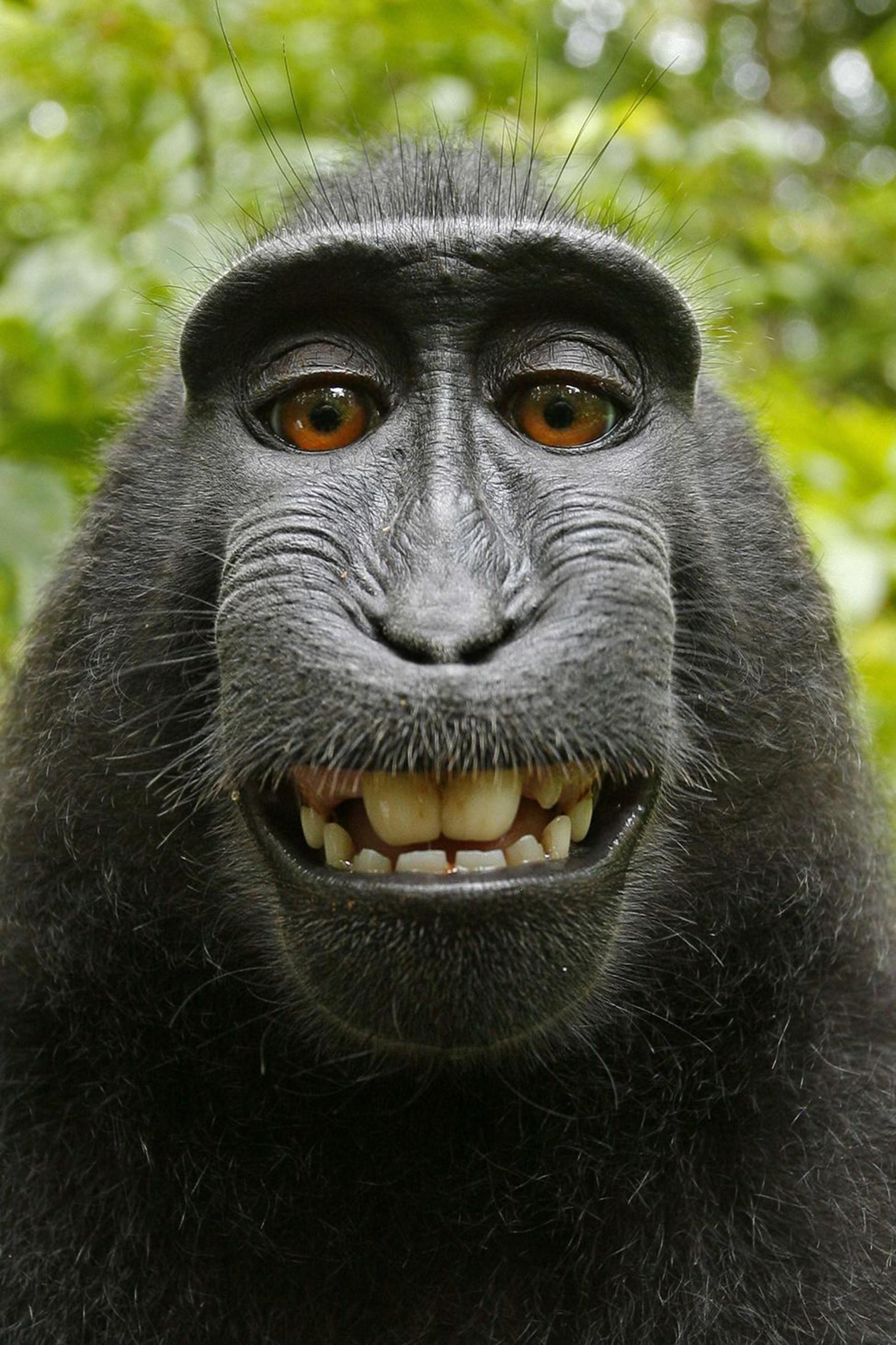 Macaca Nigra Self Portrait